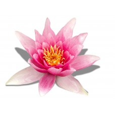 Edible Image Cake Topper Water Lily